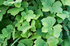Wild Kudzu – Pueraria lobate. Kudzu is noxious weedy vine that is native to Asia. This very aggressive plant smothers native vegetation in the southeastern Stock Image