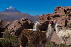 Wild lama Royalty Free Stock Photo