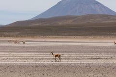 Lama Vikunja Vicugna vicugna. Wild lama Vigogna in the Andes, Peru Stock Image