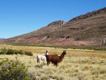 Wild Lamas Grazing in the Beautiful Landscape of Northern Argentina royalty free stock photography