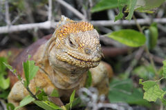 Wild land iguana Royalty Free Stock Photo