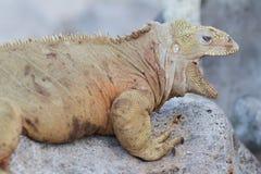 Wild land iguana on Santa Fe island. Wild Barrington land iguana or Santa Fe land iguana (Conolophus pallidus) , Galapagos, Ecuador stock photo