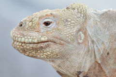 Wild land iguana on Santa Fe island Royalty Free Stock Photography