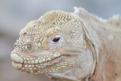 Wild land iguana on Santa Fe island Stock Photography