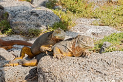 Wild land iguana on Santa Fe island in Galapagos Stock Photo