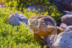 Wild land iguana on Santa Fe island in Galapagos Stock Photos