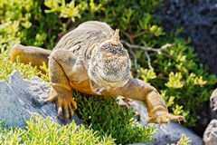 Wild land iguana on Santa Fe island in Galapagos Stock Image