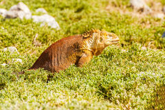 Wild land iguana on Santa Fe island in Galapagos Royalty Free Stock Photography
