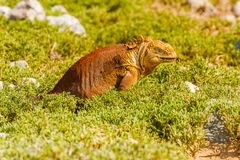 Wild land iguana on Santa Fe island in Galapagos Royalty Free Stock Photo