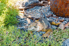 Wild land iguana on Santa Fe island in Galapagos Royalty Free Stock Images