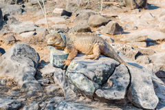 Wild land iguana on Santa Fe island in Galapagos Royalty Free Stock Photos