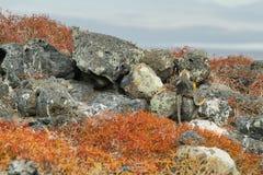 Wild land iguana. In South Plazas island, Galapagos, Ecuador Stock Photos