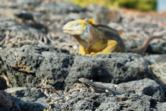 Wild land iguana Royalty Free Stock Image