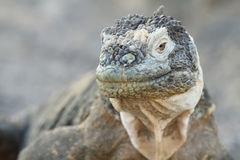 Wild land iguana. In South Plazas island, Galapagos, Ecuador Royalty Free Stock Image