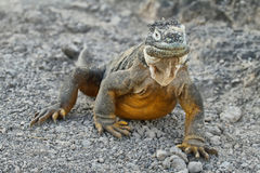 Wild land iguana Royalty Free Stock Images