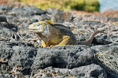 Wild land iguana. In South Plazas island, Galapagos, Ecuador Royalty Free Stock Images