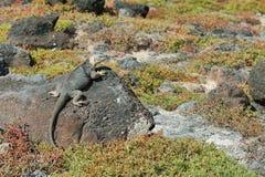 Wild land iguana. In South Plazas island, Galapagos, Ecuador Stock Images