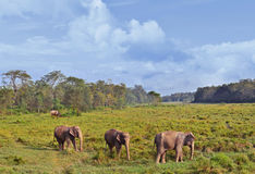 Wild landscape with asian elephants Royalty Free Stock Photography