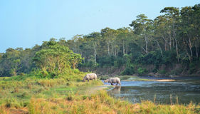 Wild landscape with asian rhinoceroses Royalty Free Stock Image