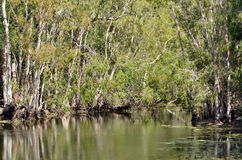 Wild landscape of gum trees grow on a river lagoon in Queensland Stock Images