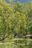 Wild landscape of gum trees grow on a river lagoon in Queensland Royalty Free Stock Photos