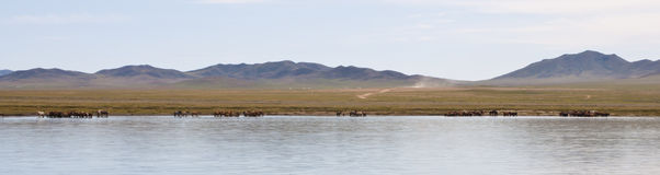 Wild mongolian landscape. Typical mongolian landscape. A herd of horses near a lake Stock Image