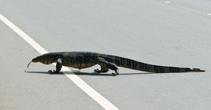 Wild large monitor lizard ( Ceylon ). Stock Photos