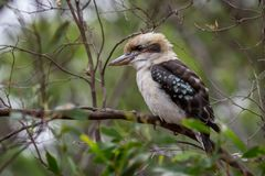 Wild Laughing Kookaburra, Woodlands Historic Park, Victoria, Australia, September 2016 royalty free stock photos