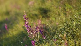 Wild lavander in sunny day stock video footage