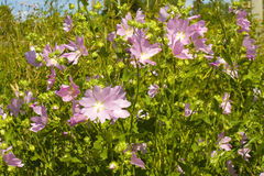 Wild lavatera Royalty Free Stock Image