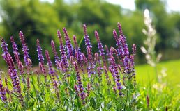 wild lavendel Fotografering för Bildbyråer