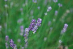 Wild lavender Stock Photo
