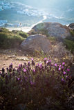 Wild lavender by the beach Stock Photography