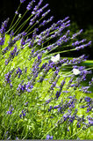 Wild lavender and butterflies Royalty Free Stock Photos