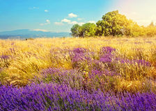 Wild lavender field Royalty Free Stock Image