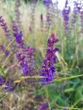 Wild lavender flowers Royalty Free Stock Photo