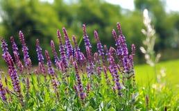 wild lavender stock image
