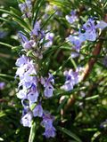 Wild lavender plant. Close up of a wild lavender plant royalty free stock photography