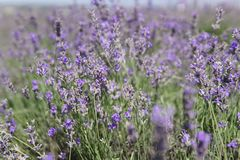 Wild lavender purple flowers in field z stock image