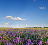 Wild lavender Stock Photos
