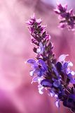 Wild lavender in the spring a young field Stock Photography