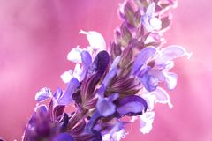 Wild lavender in the spring a young field Royalty Free Stock Photo