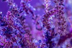 Wild lavender in the spring a young field Royalty Free Stock Photos