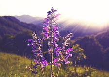 Wild lavender in sunlight Royalty Free Stock Photo