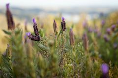 Wild lavender at sunset in Algarve, Portugal royalty free stock photos