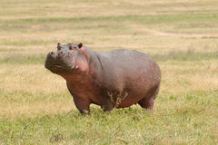 Wild lebende Tiere in Afrika, Flusspferd Stockfotos