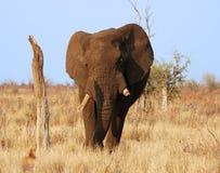 Wild lebende Tiere: Afrikanischer Elefant stockbild