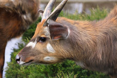 Wild lebende Tiere Antilope Sitatunga Marshbuck Afrika Stockfotografie