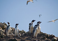 Wild lebende Tiere auf Islas Ballestas in Peru stockfoto