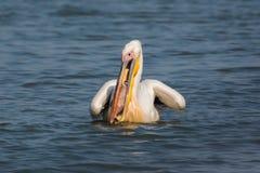 Wild lebende Tiere: bigbird - gemeiner Pelikan, der ein bigfish isst lizenzfreies stockbild